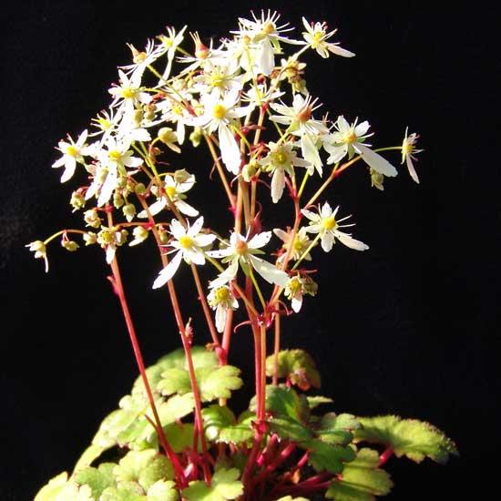 Cortusifolia Helga Hufflepuff JP-5577