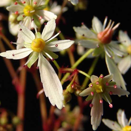 Cortusifolia Helga Hufflepuff JP-5575