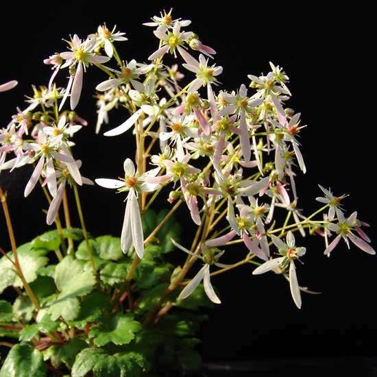 Cortusifolia Hermine Granger JP-0