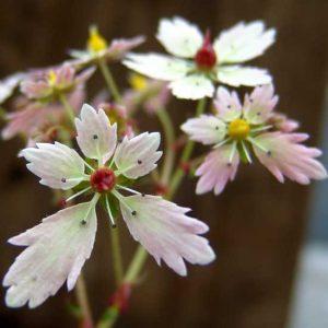 Cortusifolia Medea JP-0