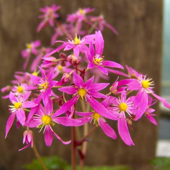 Cortusifolia Molly Weasley JP-5625