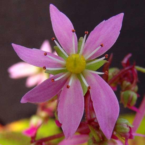 Cortusifolia Pomona Sprout JP-5633