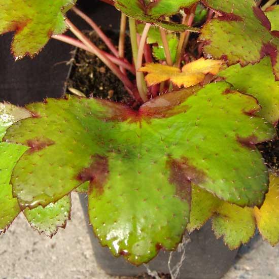Cortusifolia Pomona Sprout JP-5635