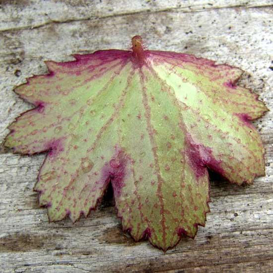 Cortusifolia Pomona Sprout JP-5636