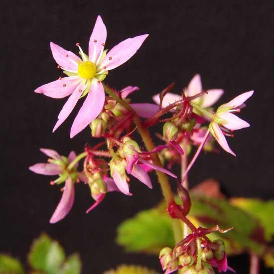 Cortusifolia Pomona Sprout JP-0