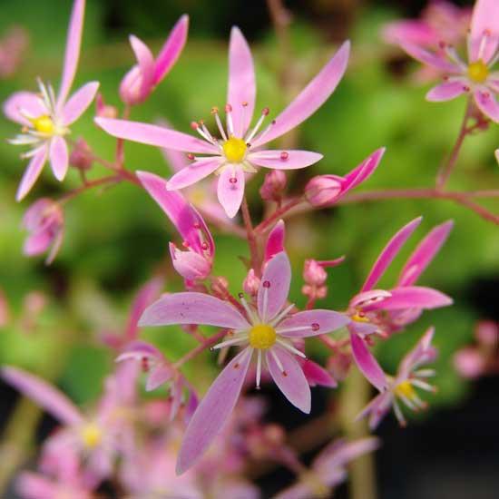 Cortusifolia Rolanda Hooch JP-5643
