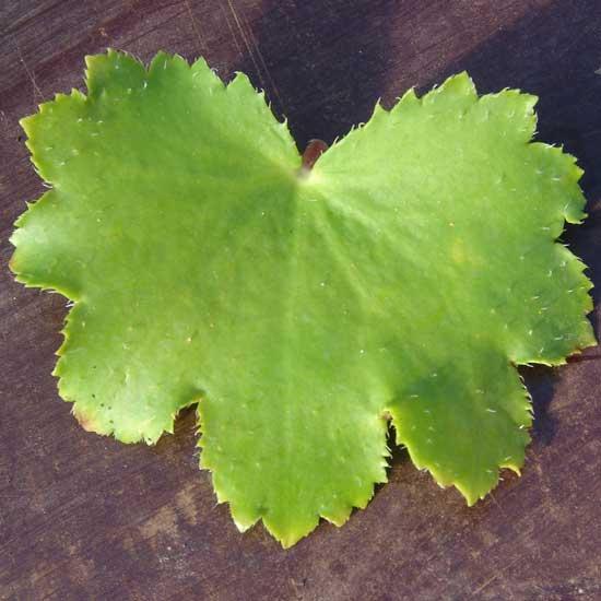Cortusifolia Rolanda Hooch JP-5642