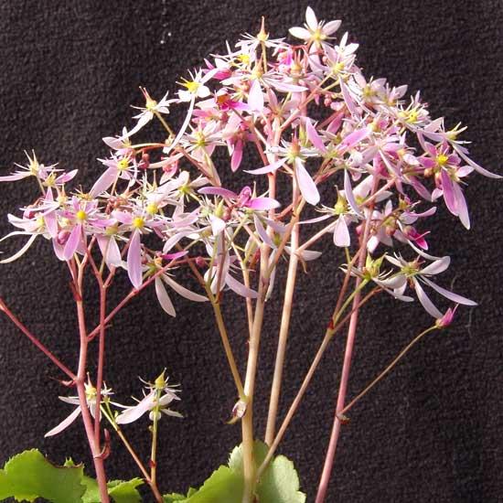 Cortusifolia Rolanda Hooch JP-0