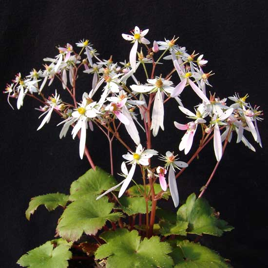 Cortusifolia Sibyll Trelawney JP-5650