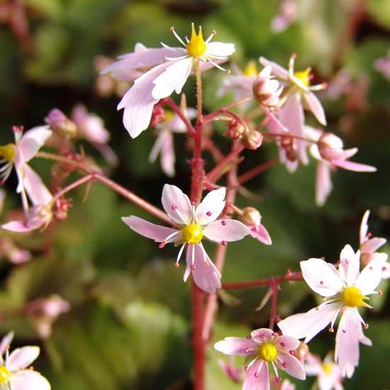 Cortusifolia Sibyll Trelawney JP-5648