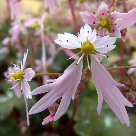 Cortusifolia Sibyll Trelawney JP-0