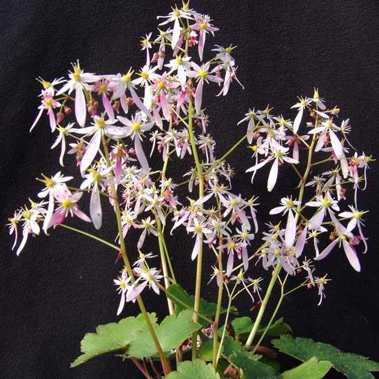Cortusifolia Wilhelmina Raue-Pritsche JP-5671