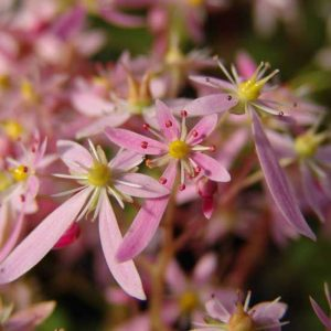 Cortusifolia Wilhelmina Raue-Pritsche JP-0