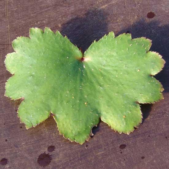 Cortusifolia Wilhelmina Raue-Pritsche JP-5672