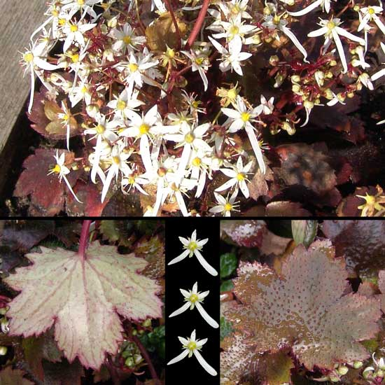 cortusifolia var. obtusocuneata Rokujo-0