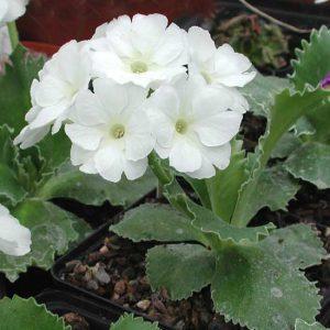 marginata Bewerley White-0