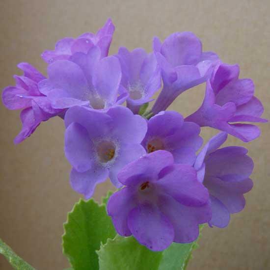 marginata Hyacinthia-0