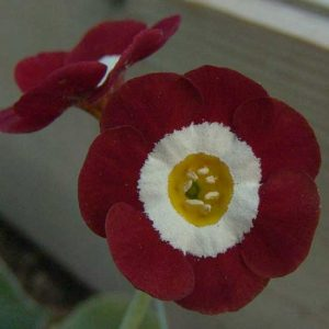 x auricula Headdress-0