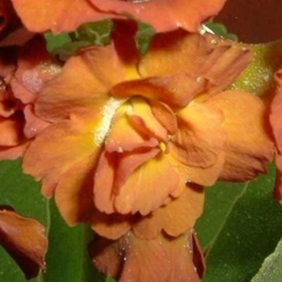 x auricula Cinnamon-0