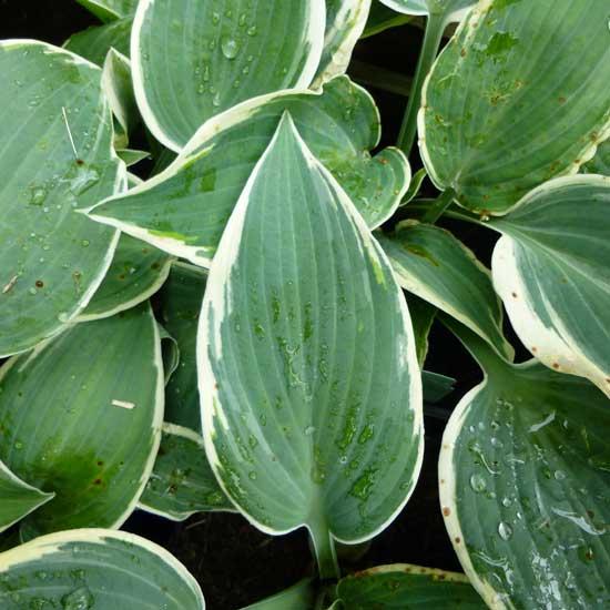 Kultivar El Nino-0