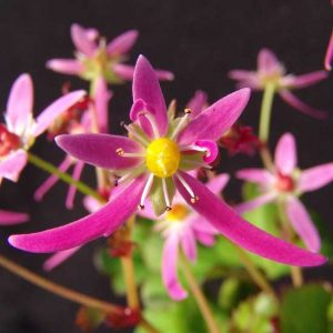 Cortusifolia Katie Bell JP-0