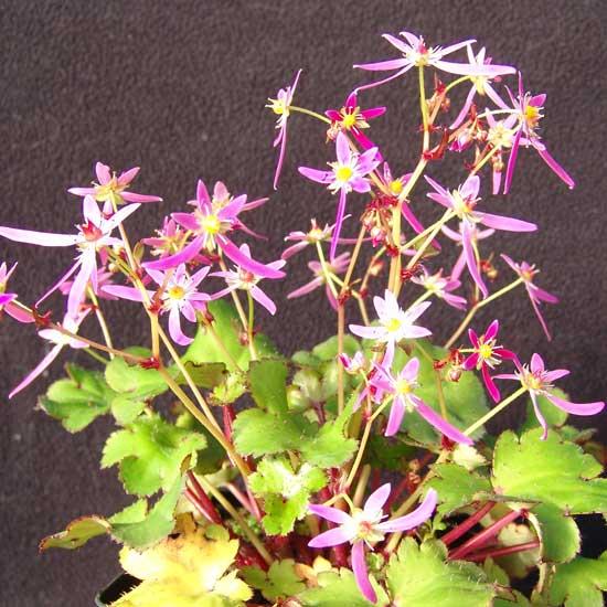 Cortusifolia Katie Bell JP-6732