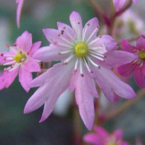 Cortusifolia Merlin JP-0