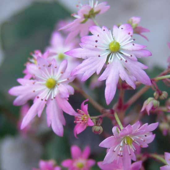 Cortusifolia Merlin JP-6766