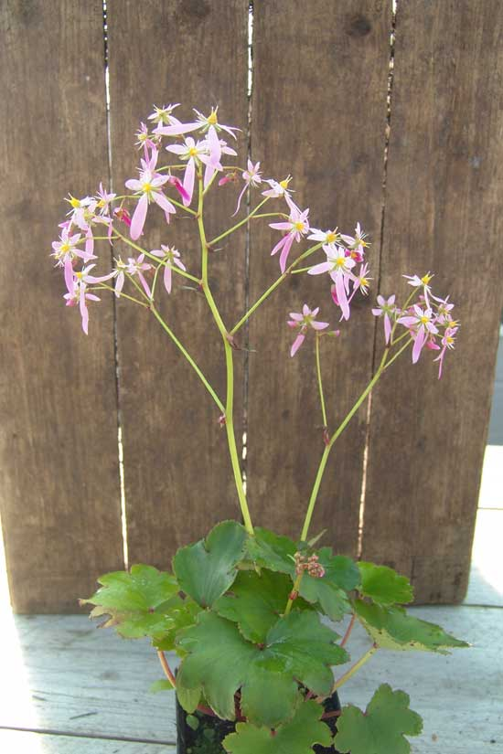Cortusifolia Fuji-san JP-6721