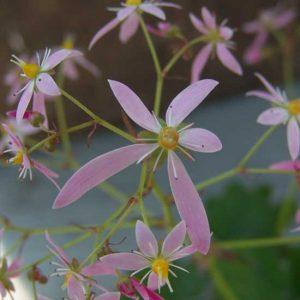 Cortusifolia Fuji-san JP-0