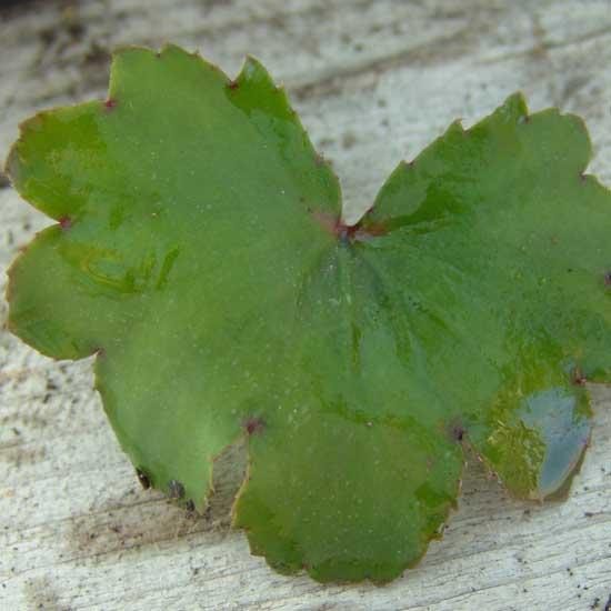 Cortusifolia Fuji-san JP-6718