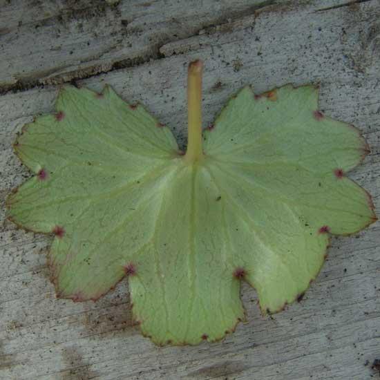 Cortusifolia Fuji-san JP-6719