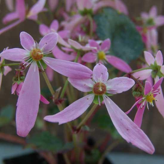 Cortusifolia Kita-dake JP-0