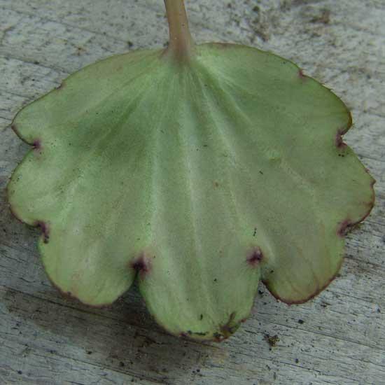Cortusifolia Kita-dake JP-6741
