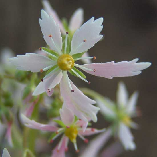 Cortusifolia Circe JP-0