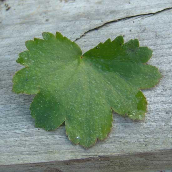 Cortusifolia Circe JP-6703