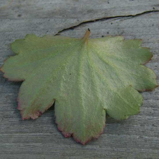 Cortusifolia Circe JP-6704