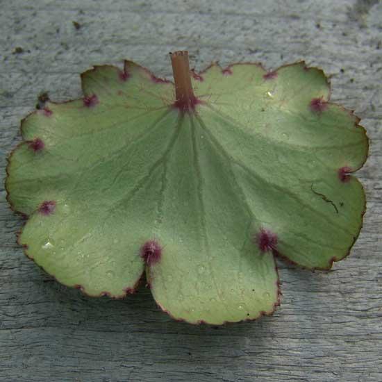 Cortusifolia Katie Bell JP-6733