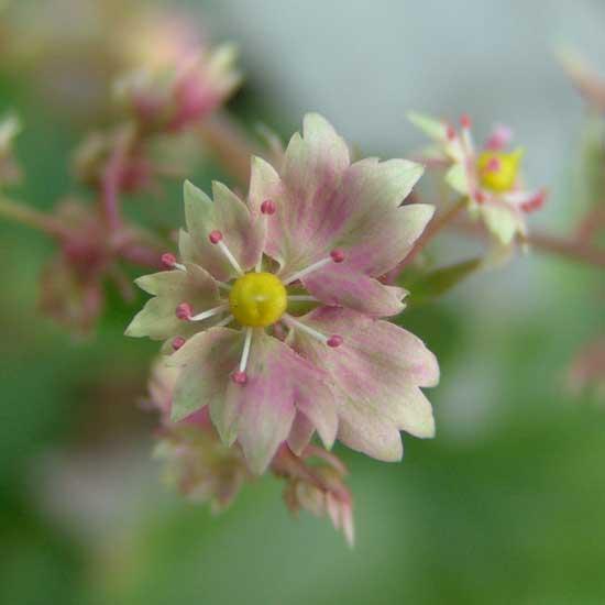 Cortusifolia Lavender Brown JP-6751
