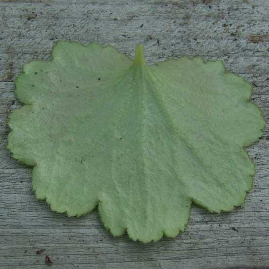 Cortusifolia Lavender Brown JP-6748