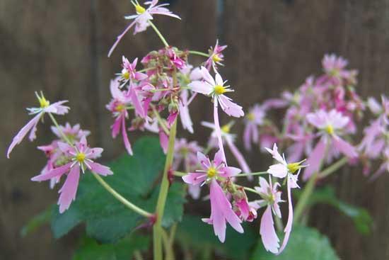 Cortusifolia Lily Potter JP-6758