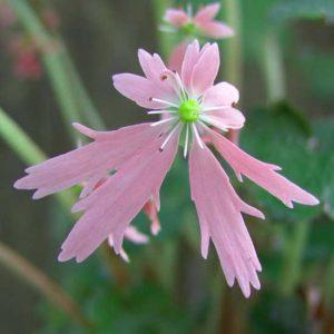 Cortusifolia Lily Potter JP-0