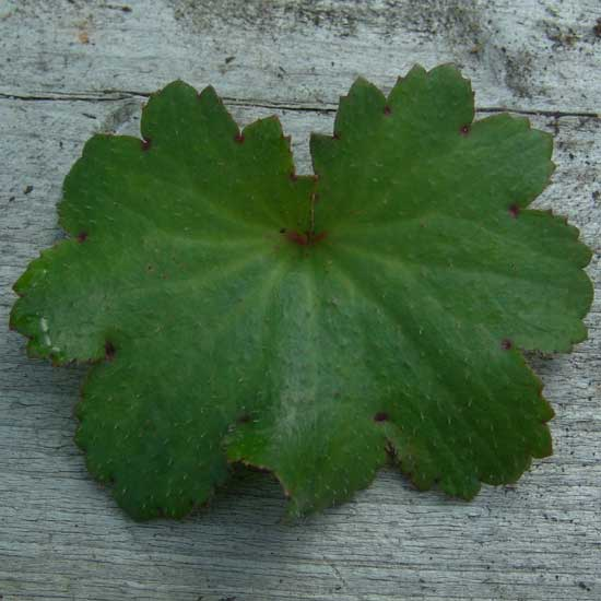 Cortusifolia Lily Potter JP-6757