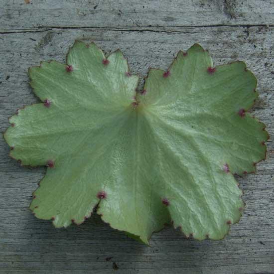 Cortusifolia Lily Potter JP-6759
