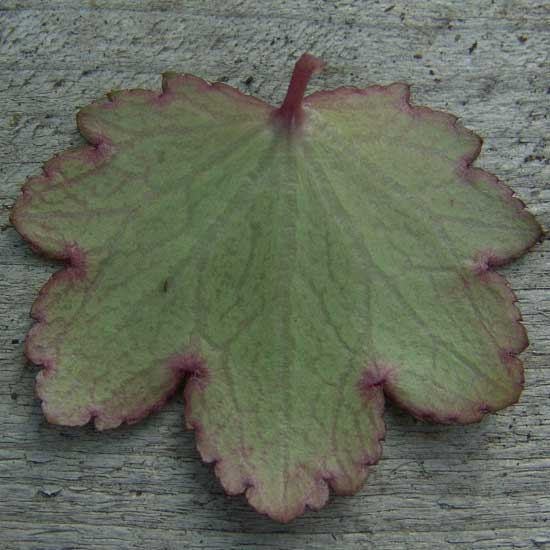 Cortusifolia-Hybride Akaishi-dake JP-6683