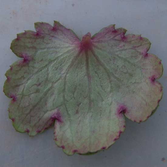 Cortusifolia Merlin JP-6767