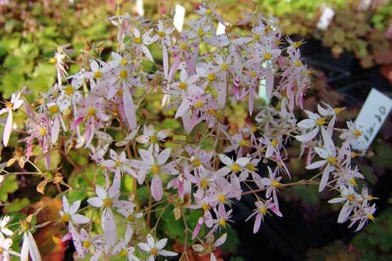 Cortusifolia Kita-dake JP-6743