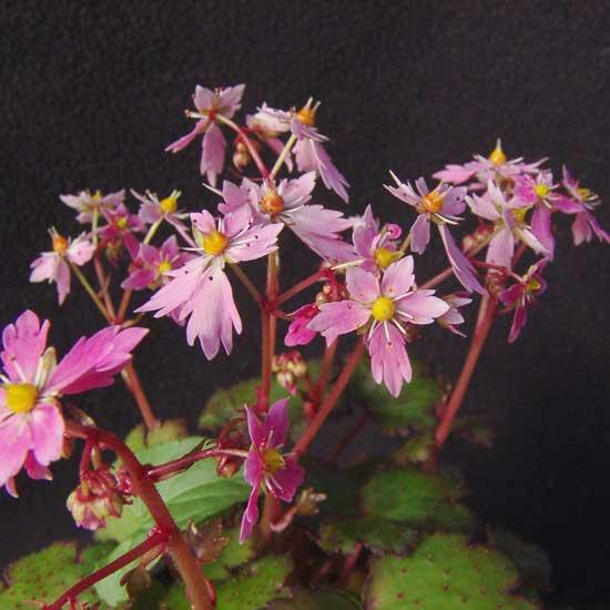 Cortusifolia-Hybride Akaishi-dake JP-0