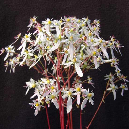 Cortusifolia Rowena Revenclaw JP-0