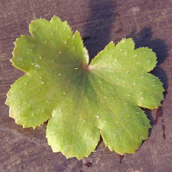 Cortusifolia Rowena Revenclaw JP-6796